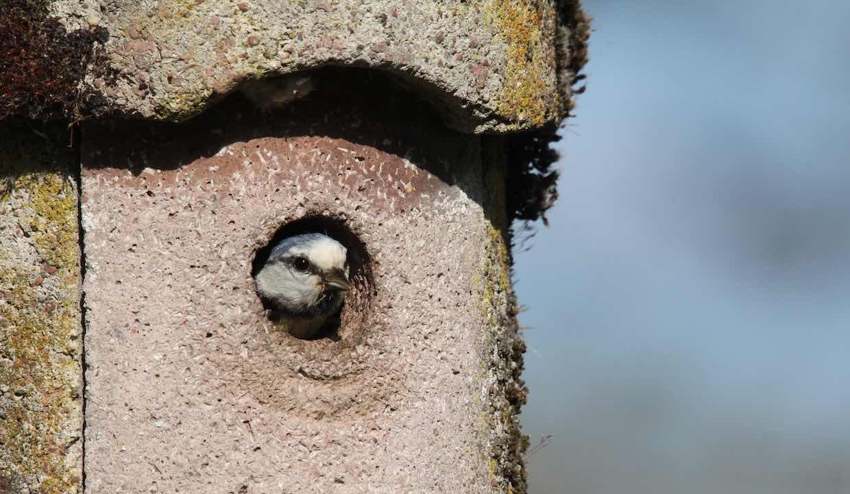 Blaumeise schaut aus Nistkasten (©W.Irsch/piclease)